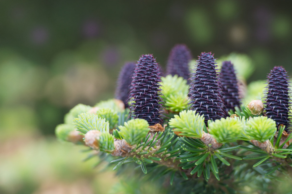 Branch of Korean Fir (Abies koreana) with new purple-blue cones and fresh young shoots in spring. Focus (shallow DOF) has been placed over the nearest cones - the background is blurred.