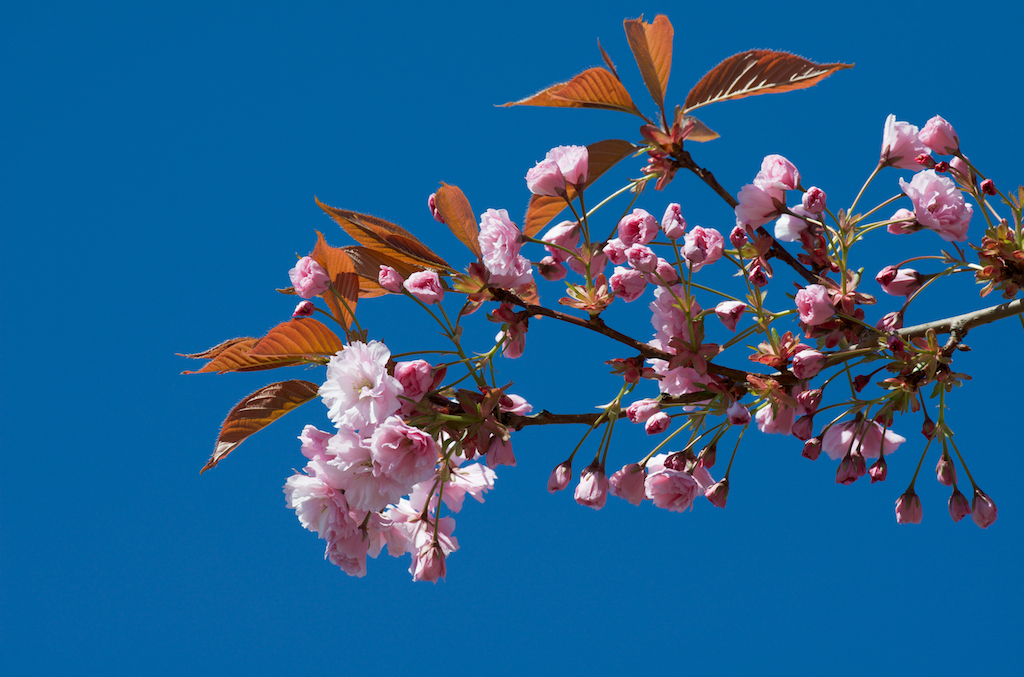 Cherry blossoms (sakura) and clear blue sky in spring.