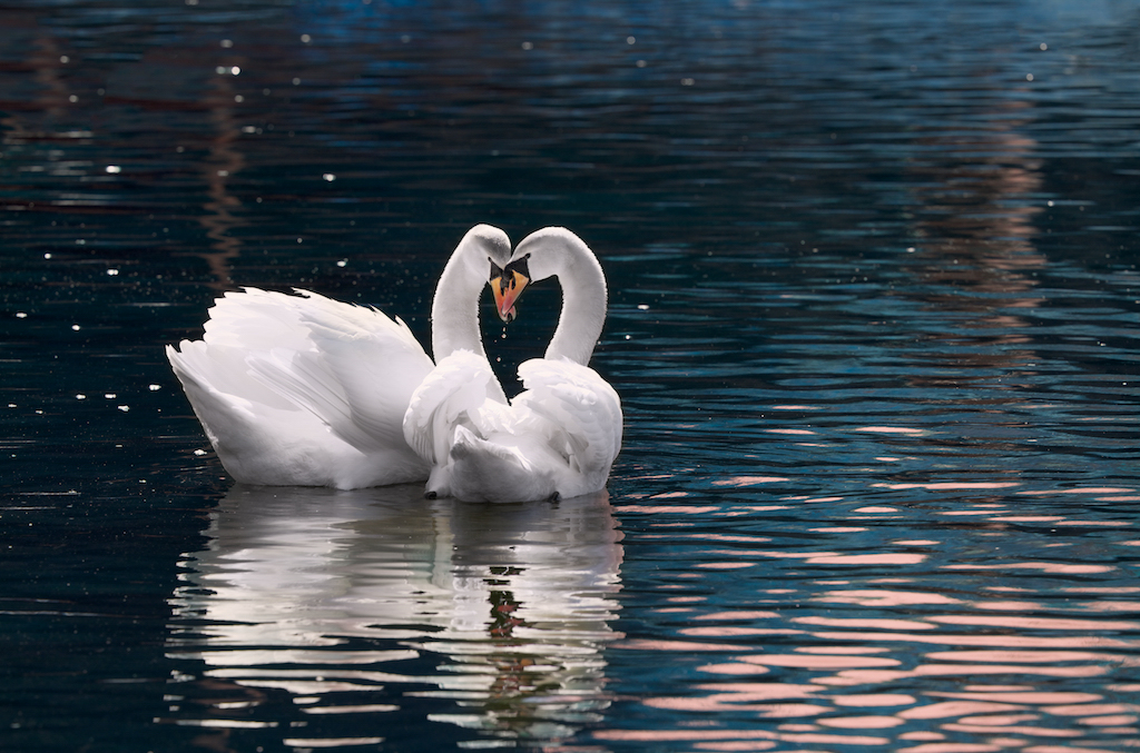 Courting swans at sunset in spring